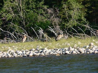 Snake River wildlife